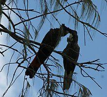 Black Cockatoos Preening by STHogan