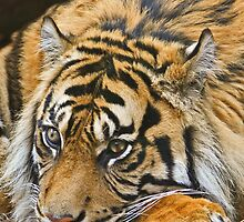 Sumatran Tiger by David Pringle