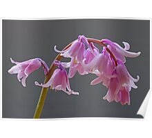 Pink Hybrid Bluebell Flowers Poster