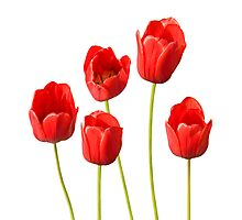 Red Tulips against a White Background Wall Art Photographic Print