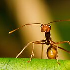 Weaver Ant by Dev Wijewardane