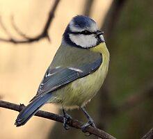 Blue Tit  (Parus caeruleus) by webbo