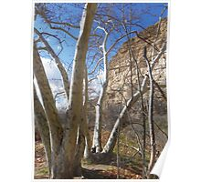 Cottonwood trees Poster