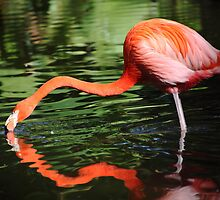 Flamingo by kathy s gillentine