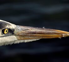 Avian Close Up by artisandelimage