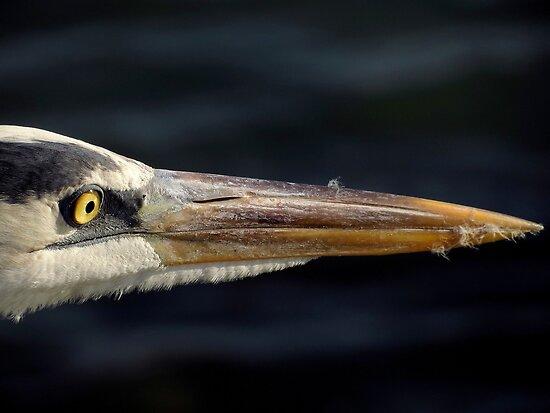 Avian Close Up by artisandelimage