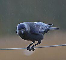 Jackdaw In The Rain... by Lauren Tucker