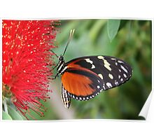 Hecale Longwing on Bottlebrush - Heliconius hecale zuleika Poster