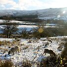 Sheep with Lens Flare by Mark Smitham