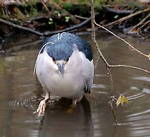 Black Crowned Night Heron With Breeding Feathers by Kathy Baccari