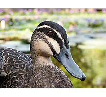 Pacific Black Duck - portrait Photographic Print