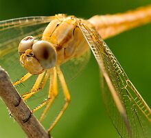 Dragonfly with Dented Eye by Sammy77