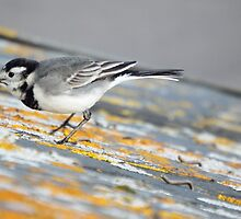 Pied Wagtail just caught a fly by Deb Vincent