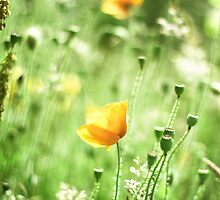 Yellow poppies by lorrainem