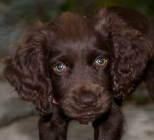 Boykin Spaniel - Daisy  by KSKphotography