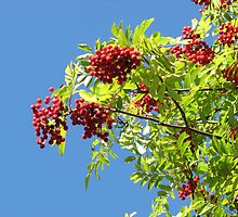 Rowan Berries against a Blue Sky by MidnightMelody