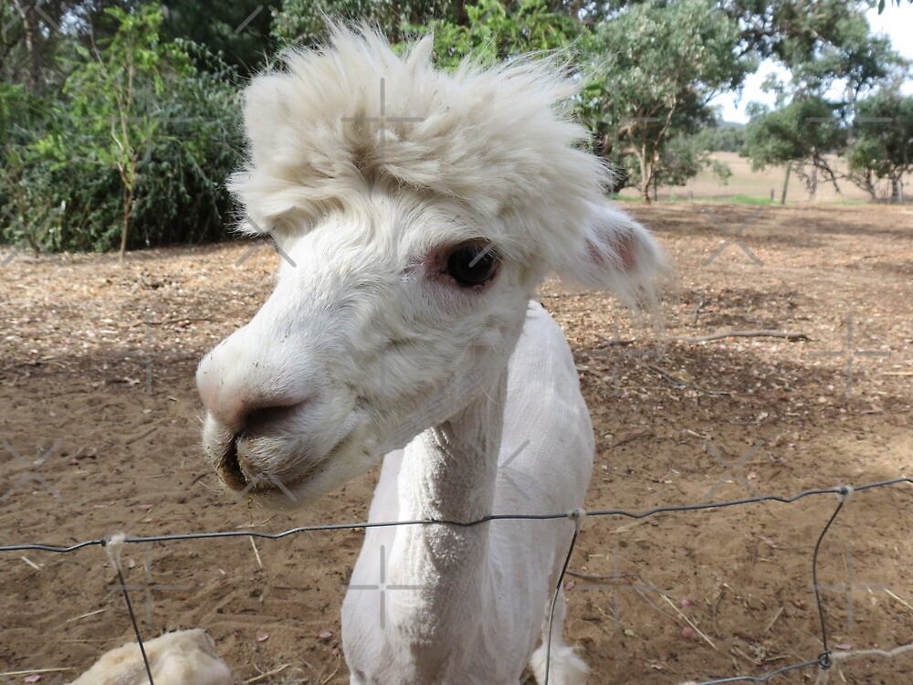 Andy the alpaca by Jackson  McCarthy