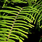North Head Manly - Pauched Coral Fern by miroslava