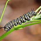 Monarch Butterfly Caterpillar by Kathy Baccari