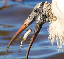 Nice Catch - Wood Stork by naturalnomad