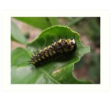 Dingy Swallowtail butterfly larva Art Print