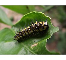 Dingy Swallowtail butterfly larva Photographic Print