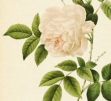 Rosa Indica or Cyme Rose by P.J. Redoute by HumanlineImages