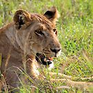 Lioness Large And In Charge by Stephen Monro