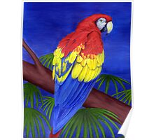 Scarlet Red Macaw (Ara macao) Poster