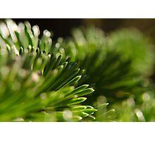 Glowing Pine Needles Photographic Print