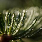 Spruce Needle in the Morning Dew Macro Photography by William Martin