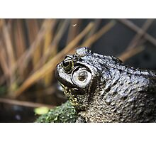 Bull Frogs  Photographic Print