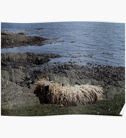 Devon Longwool Sheep Prawle Point Low Tide Poster