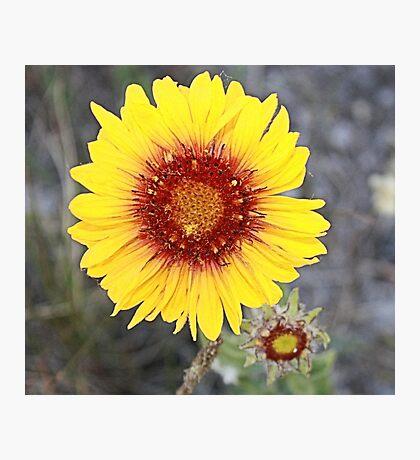 Blanket Flower (Gaillardia pulchella) Photographic Print