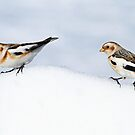 Two Snow Buntings by Bill McMullen