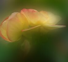 Beguiling Begonia by enchantedImages
