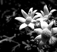 North Head Manly - Flannel Flower by miroslava