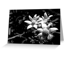 North Head Manly - Flannel Flower Greeting Card