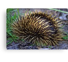 North Head Manly - Echidna in hiding Canvas Print