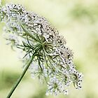 Queen's Lace by Margi