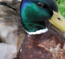 duck on grass Sticker