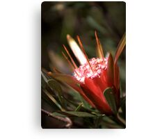 North Head Manly - Mountain Devil Canvas Print
