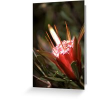 North Head Manly - Mountain Devil Greeting Card