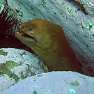 Long Neck-Green Moray Eel by springs
