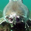 Just Eating - Port Jackson Shark by springs