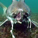 Food - Port Jackson Shark by springs