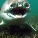 Nothing in my mouth - Port Jackson Shark by springs