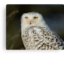 Snowy Owl - Amherst  Canvas Print