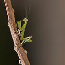Juvenile Mantis by Glynn May
