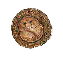Hazel Dormouse (Muscardinus avellanarius) Photographic Print